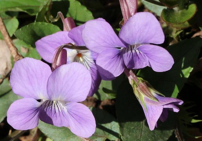 七宝山のスミレ 丸い花びら 31 4 8