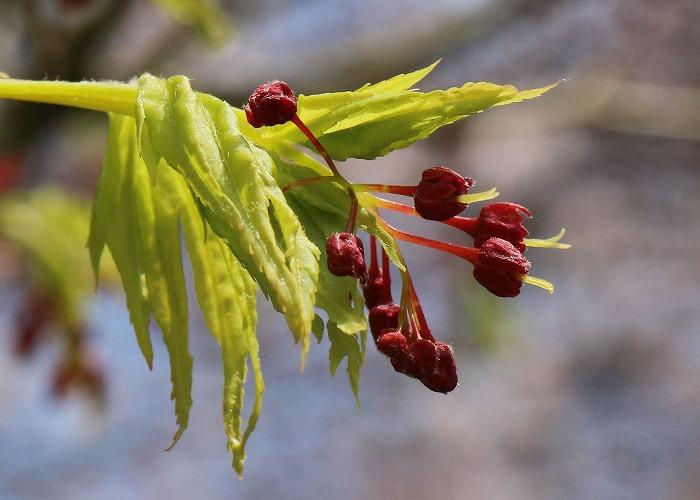 楓の花 31 4 2