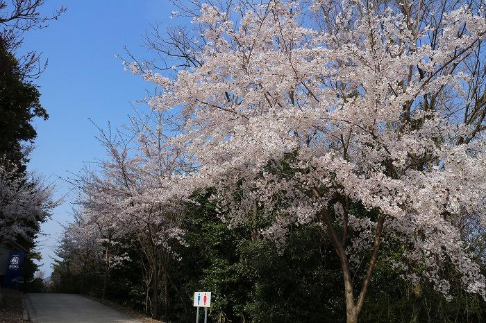 高屋神社 奥の院 桜 31 4 11