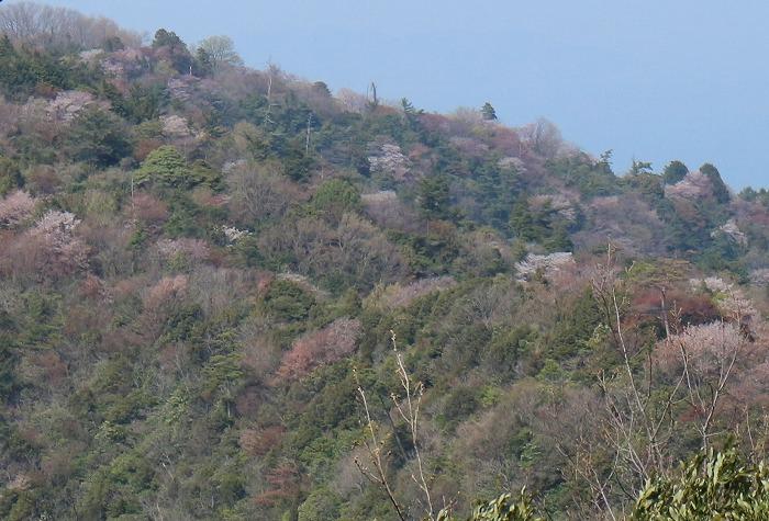 七宝山の山桜 31 4 11