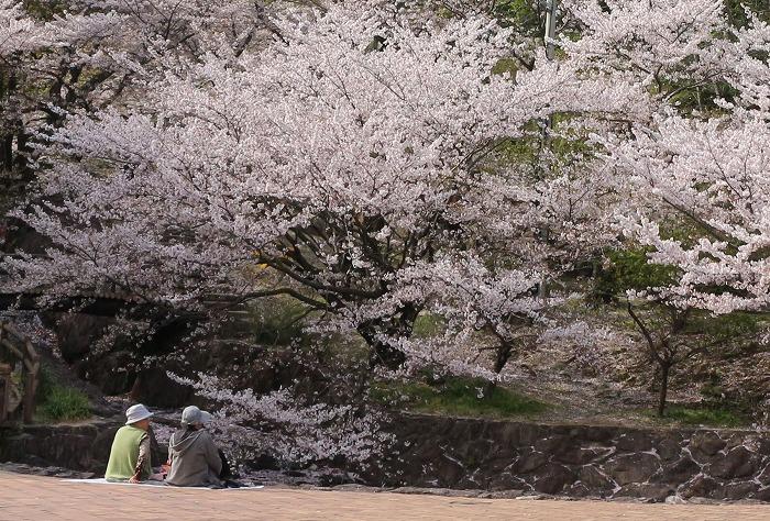 不動の滝の桜 二人で 31 4 9