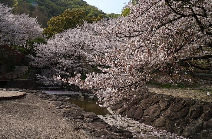 不動の滝桜満開 31 4 9