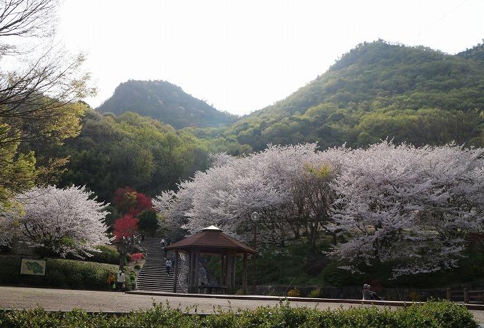 不動の滝 桜花爛漫 31 4 9