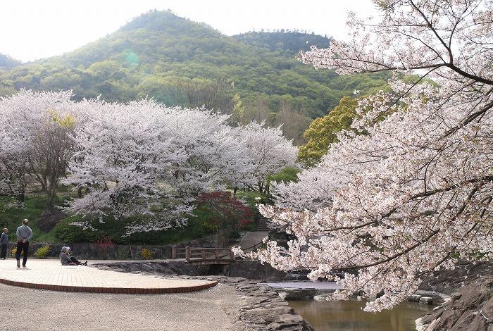 不動の滝の桜満開です 31 4 9