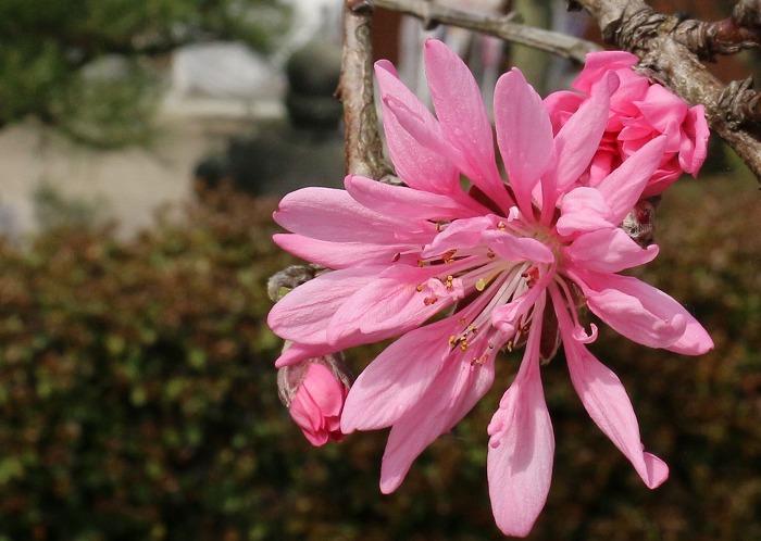 菊咲き花桃 31 4 9
