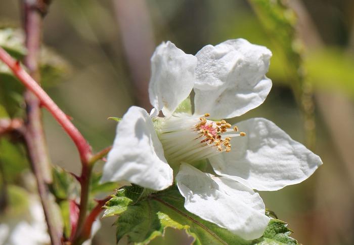 紅葉葉苺花を一輪撮る 七宝山 31 4 8