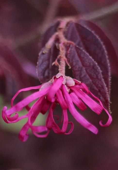 マンサクの花 31 4 17