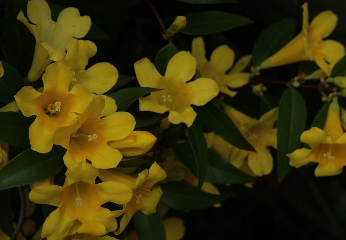 黄色い花のジャスミン 31 4 17