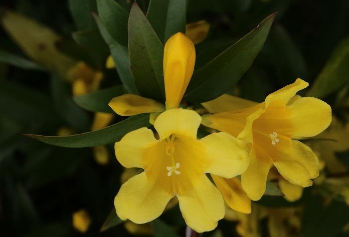 ジャスミンの花咲きました黄色 31 4 17