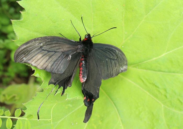 ジャコウアゲハ 蕗の葉の上に 31 4 17