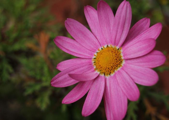 小さな鉢の桃色マーガレット 31 3 28