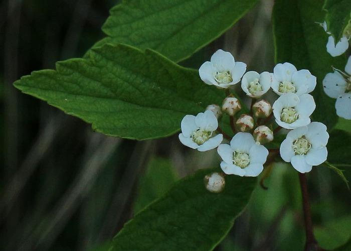 イワガサ花開きます 31 4 25