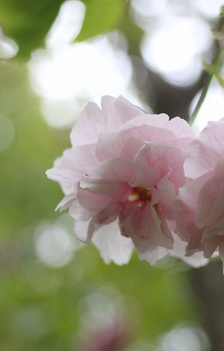 普賢象 縦に 八重桜 31 4 23