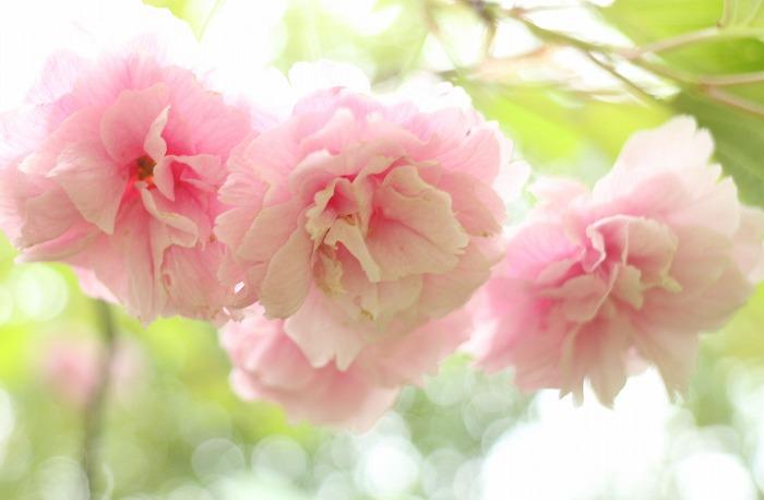 普賢象の花 八重 爺神山 31 4 23