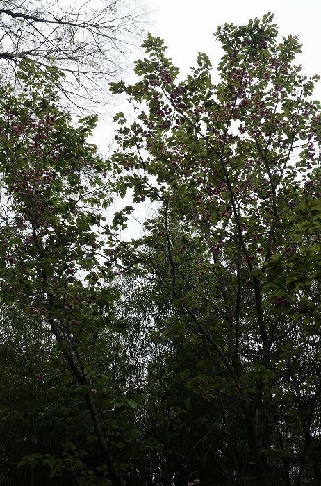 普賢象の木 八重の桜 31 4 23