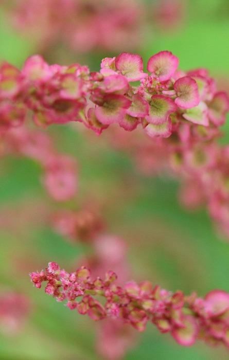 スイバの花 種 爺神山 1 5 7