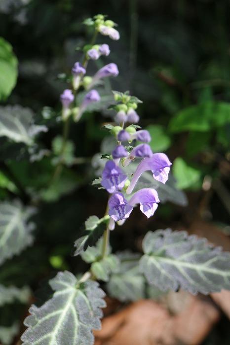 紫蘇葉立浪 花紫 2本 1 5 20