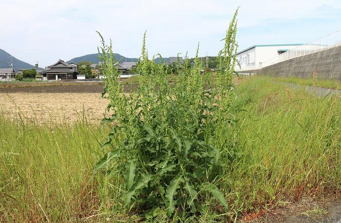 ギシギシの花 1 5 21