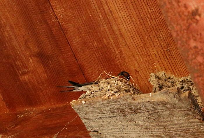 巣作り始めた独りぼっちだったツバメ 1 5 24