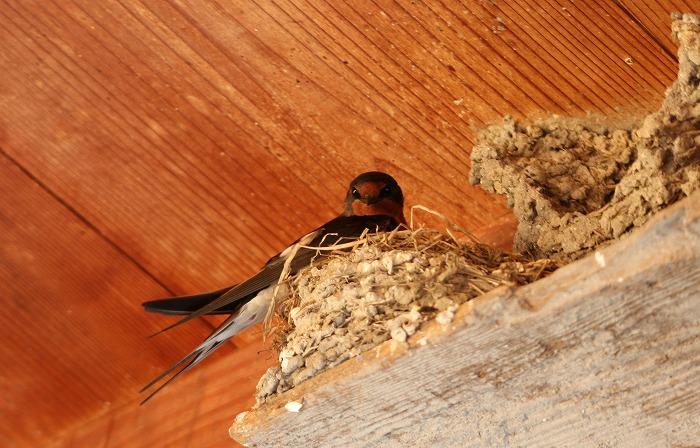 去年の誰かの巣の横に新しく作ってる巣 1 5 24