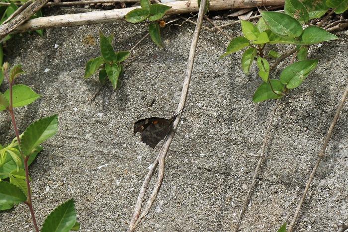 翅閉じてるテング蝶 1 5 29