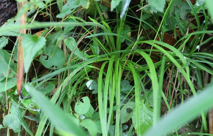 束心蘭の葉 1 5 30