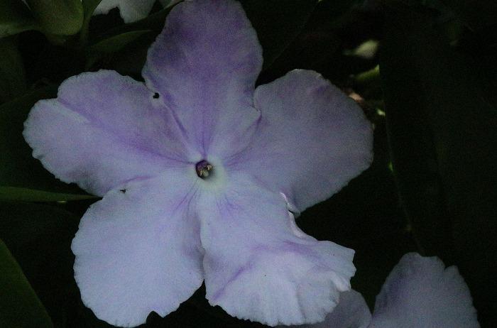 白に近い色になる匂蕃茉莉 1 5 30