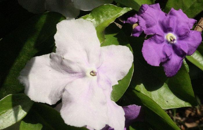 白と紫の花 匂蕃茉莉 1 5 30