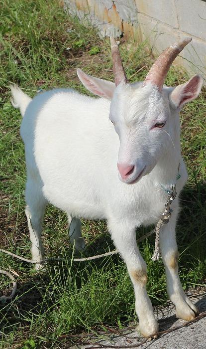 志々島の白い山羊さん 草刈りの日 1 6 11