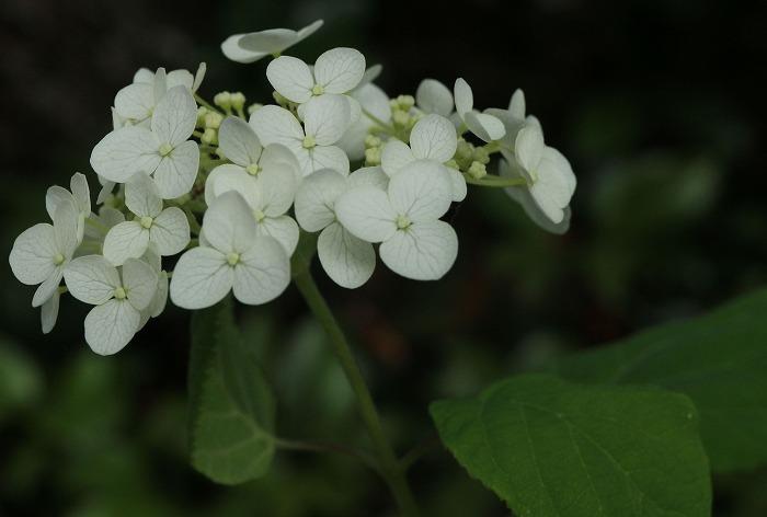 小さい花のアナベル 1 6 18