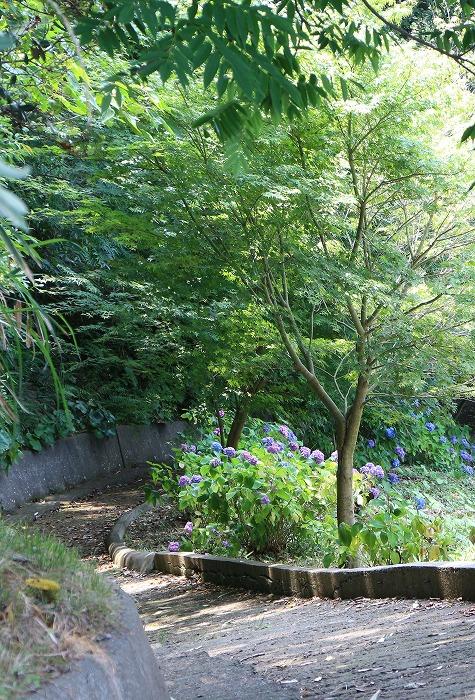 紫陽花園へ行く道 志々島 1 6 11