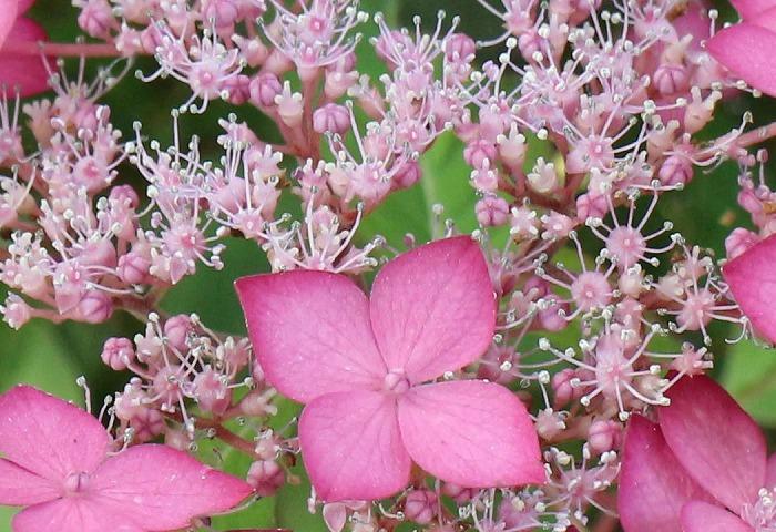 紫陽花の花アップ 志々島 1 6 11