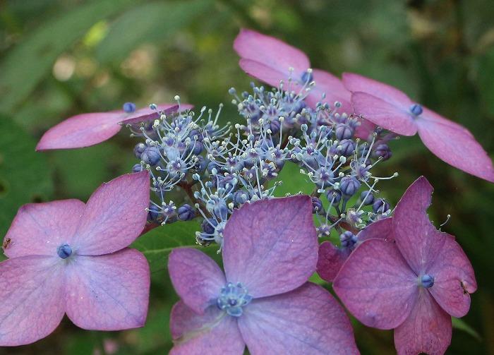 志々島大楠近くの紫陽花の花 1 6 11