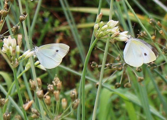 白い蝶々 1 6 24