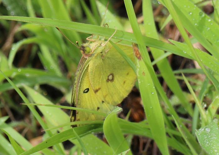 黄色い蝶々 1 6 24