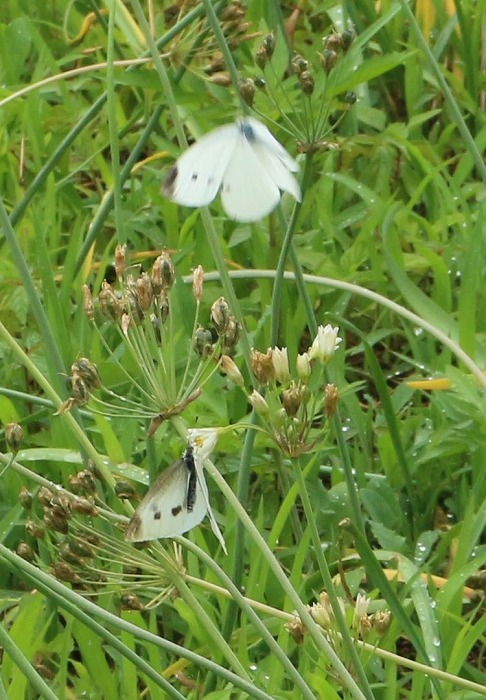 白い蝶 縦に 1 6 15