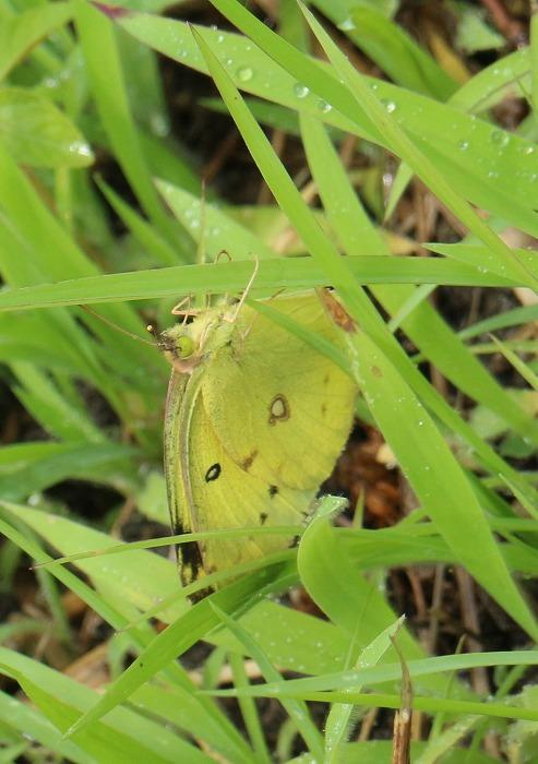 黄色い蝶 縦に 1 6 15