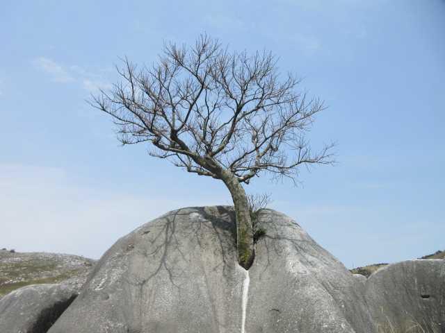 IMG0077JPG根性の木