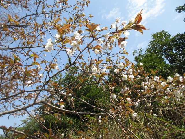 IMG0140JPG山桜