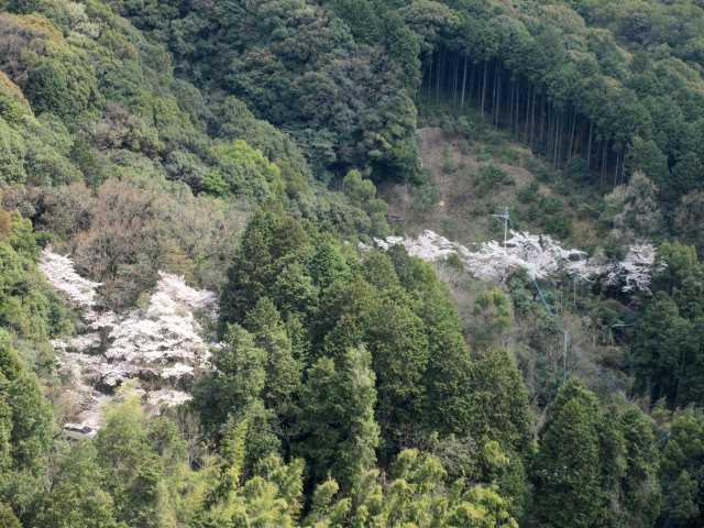 IMG0094JPG山腹の桜