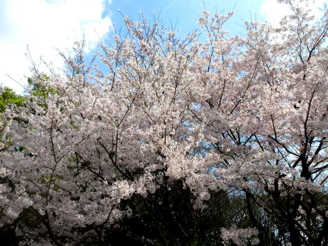 IMG0126JPGpの桜