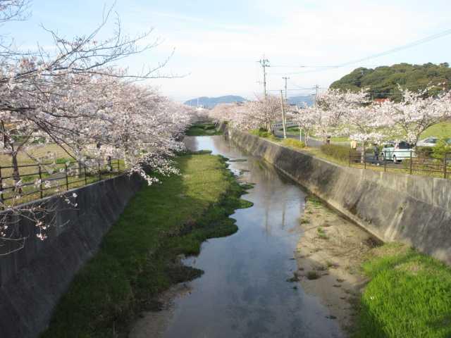 IMG0020JPG貫川の桜6