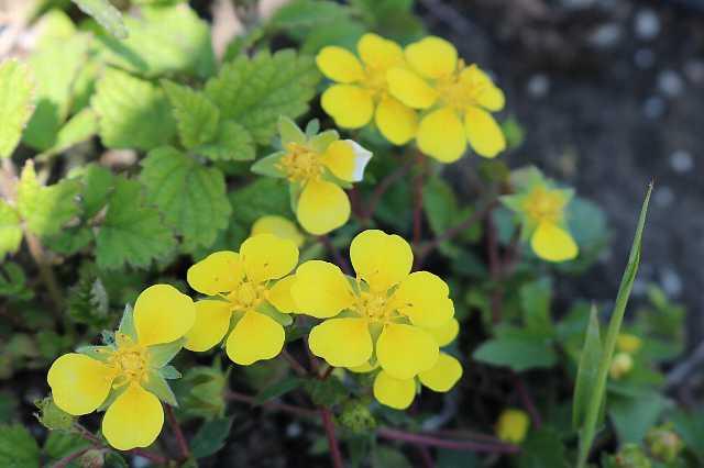 IMG0935JPG黄色の花