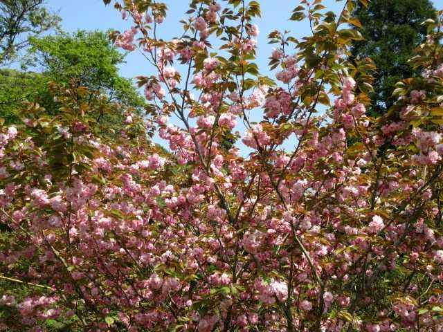 IMG0147JPGボタン桜