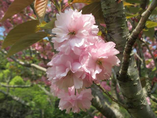 IMG0151JPGボタン桜