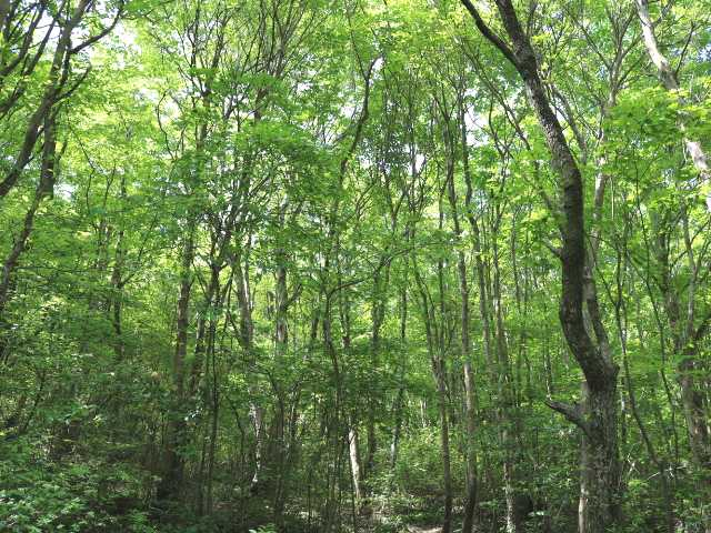 IMG1473JPG新緑の林