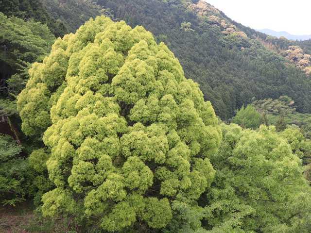 IMG1696JPG若葉の樹
