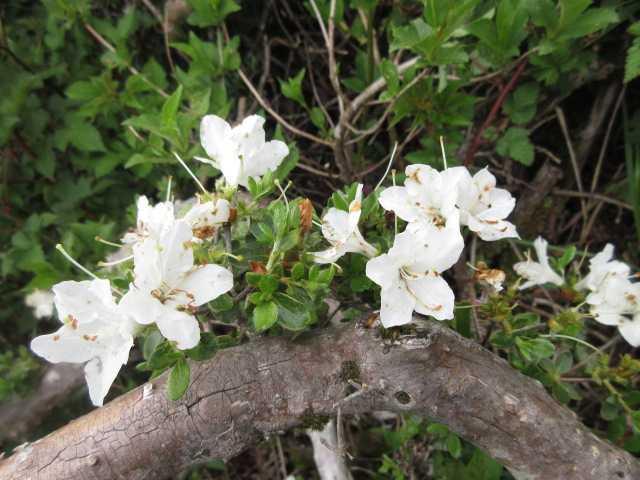 IMG0041JPG白いミヤマキリシマ1