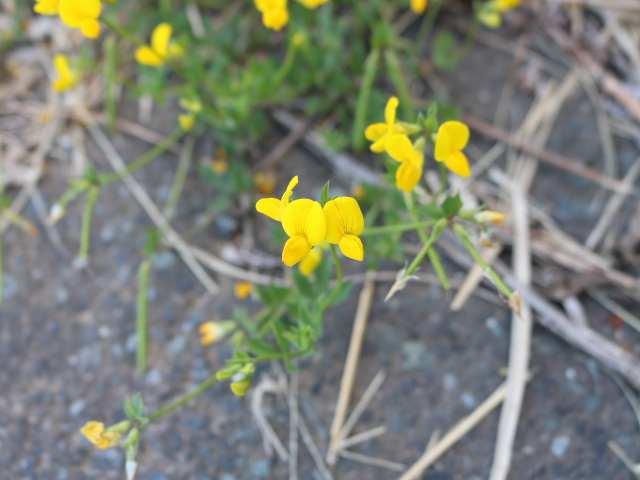 IMG0147JPG黄色の花1