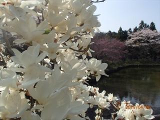 最明寺史跡公園のモクレン